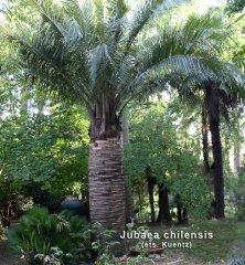 jubaea-chilensis-nom.jpg