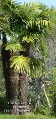 trachycarpus-nom.jpg