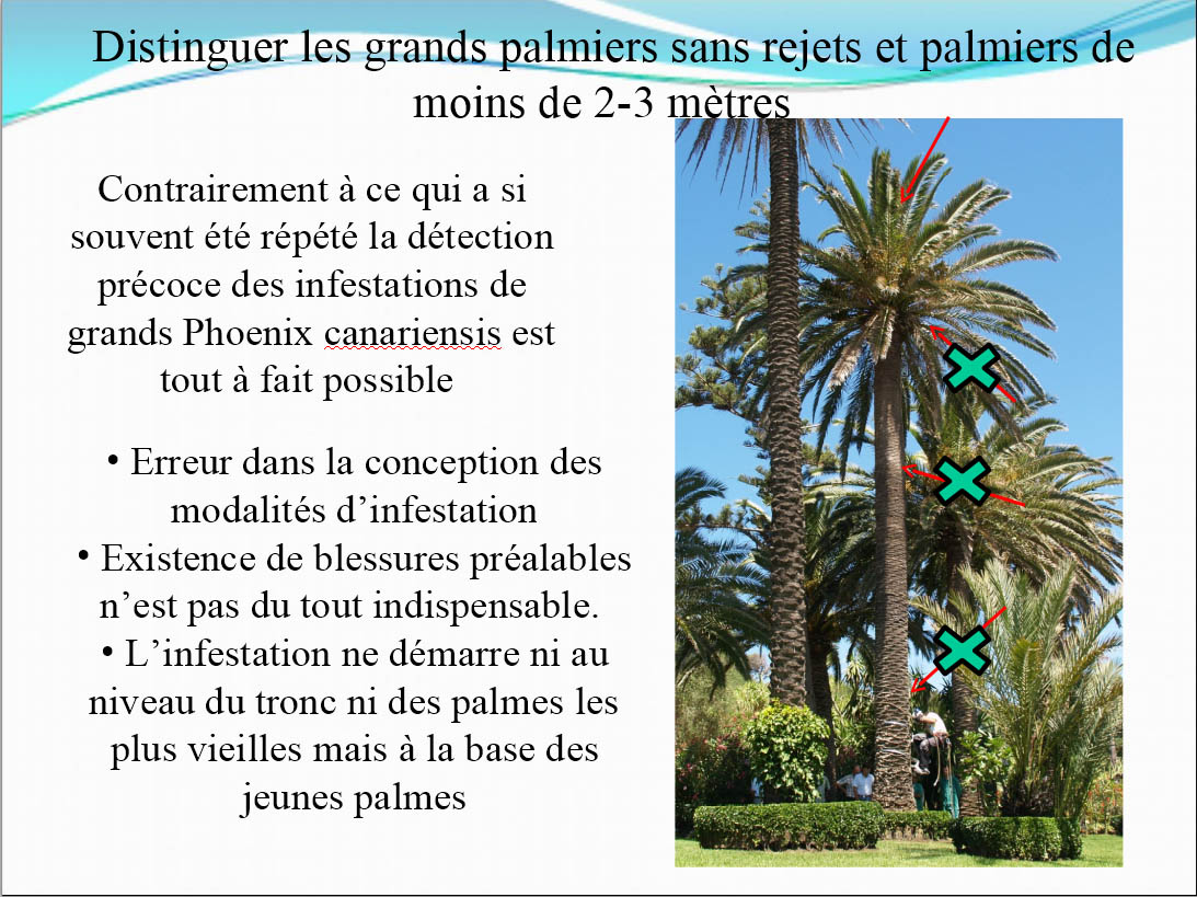 120121 infestation detection crp distinguer les gds palmiers