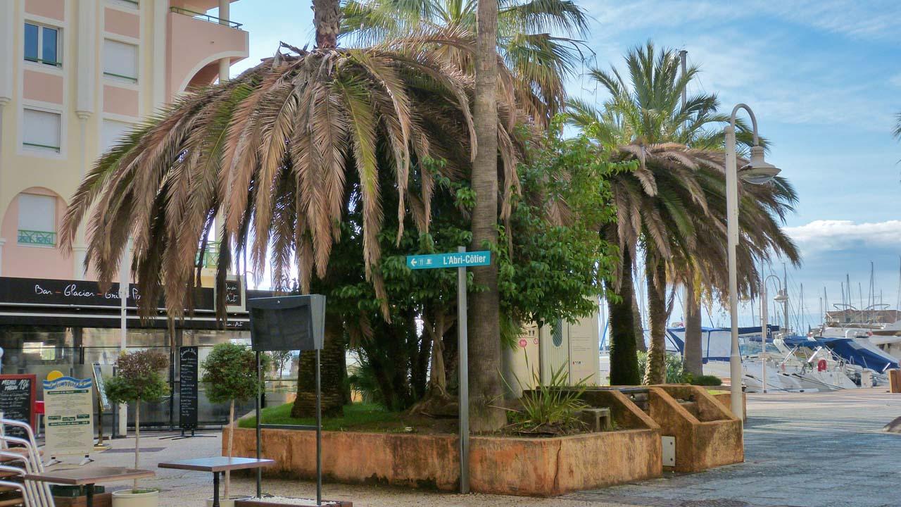 palmier frejus